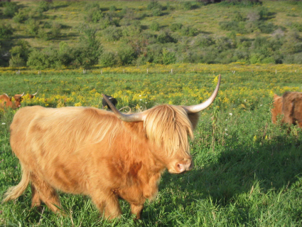 Highlander Grass Fed Beef New York upstate pasture raised cattle