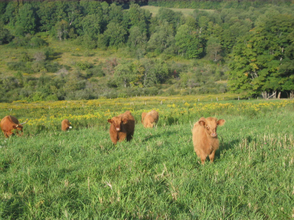 Highlander cattle in the pasture at Nectar Hills Farm Grass Fed meats in central New York state near Cooperstown